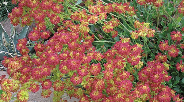 The dark red seed heads of Eriogonum 'Poncha Pass Red' that display in late summer.
