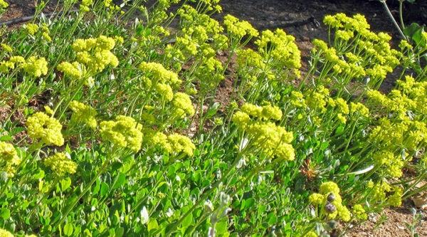 Eriogonum Poncha Pass Red Sulphur Buckwheat
