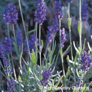 Lavender 'Mitcham Grey'