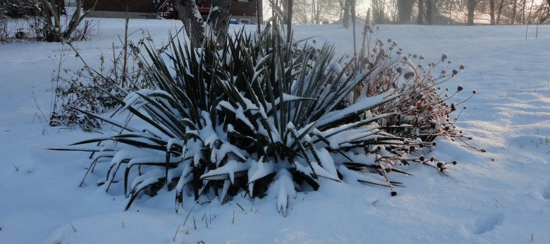 Customer photo of Agave in Winter, S. Lawalin