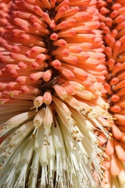 Beetle-in-Kniphofia-NSnively