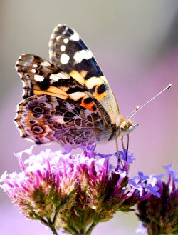 Painted-Lady-Butterfly-LSteider