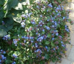 Hardy Plumbago is a perennial that will work well in a shady place.