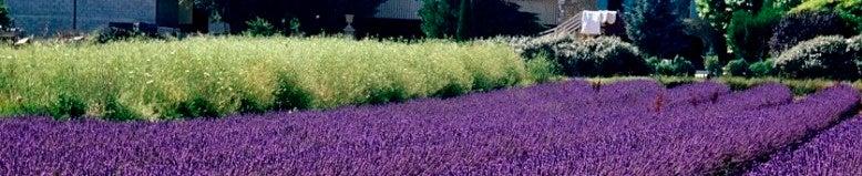 Lavender at High Country Garden's facilities.