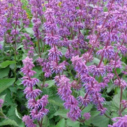Salvia verticiliata 'Endless Love'