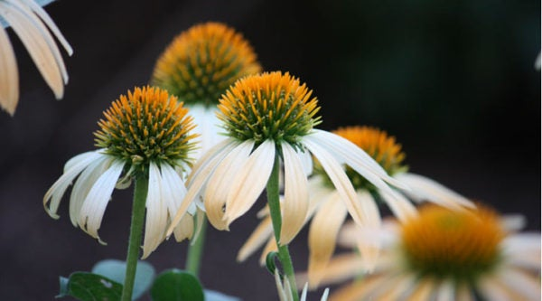 White echinacea or coneflower.