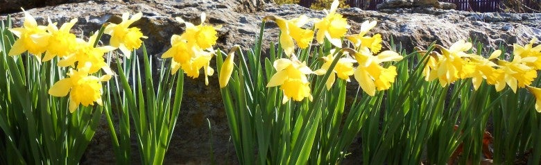 Daffodils provide a good line of defense planted in