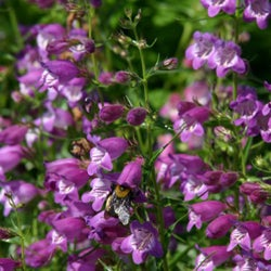Penstemon mexicali 'Pikes Peak Purple'
