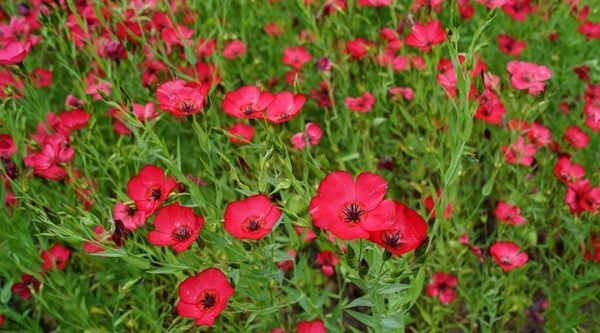 Scarlet Flax is an easy to grow wildflower seed that pollinators love.