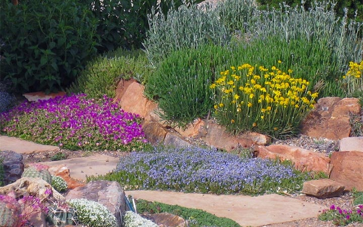 Veronica and Delosperma in xeric garden