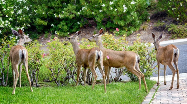 Deer in California rose garden.