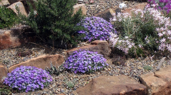 Phlox Lemhi Purple in Rock Garden