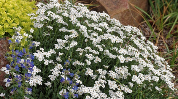 Greek Yarrow (Achillea ageratifolia)