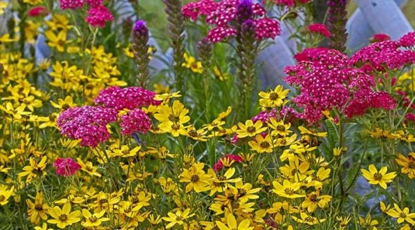 Tickseed (Coreopsis) make a wonderful companion to Vintage Violet Yarrow (Achillea)