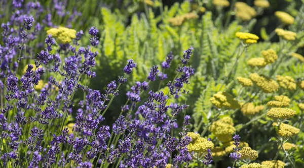 English Lavender and Yarrow