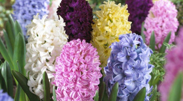 Hyacinth Easter Joy Mix.