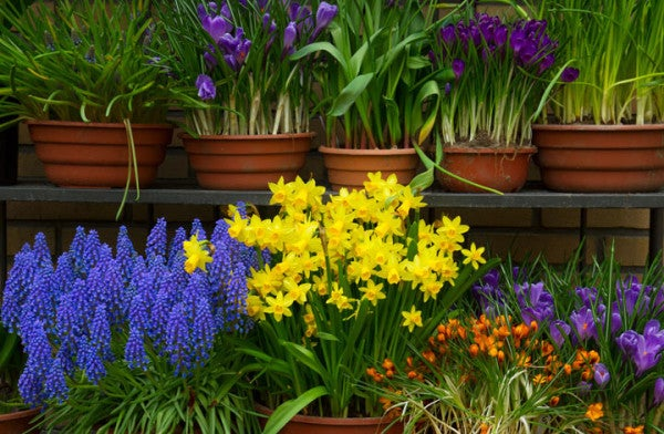 Fall planted bulbs are perfect for forcing.
