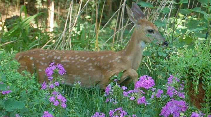 How-to-keep-deer-from-eating-plants--blog-720x400