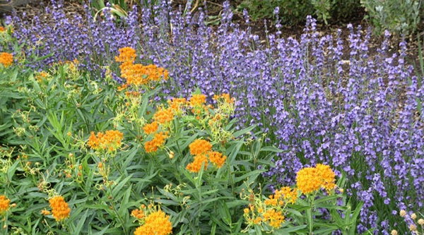 Lavandula angustifolia Sharon Roberts (English Lavender) with Asclepias tuberosa (Butterfly Weed)