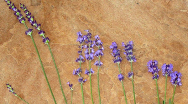 Lavender flower comparison: Gros Bleu, Sharon Roberts Pastor's Pride and Thumbelina Leigh