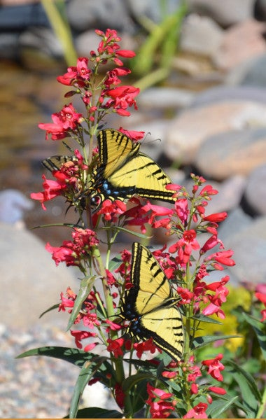 Pam-Koch-Three-Swallowtail-Butterflies-on-Penstemon-AZ-(1)