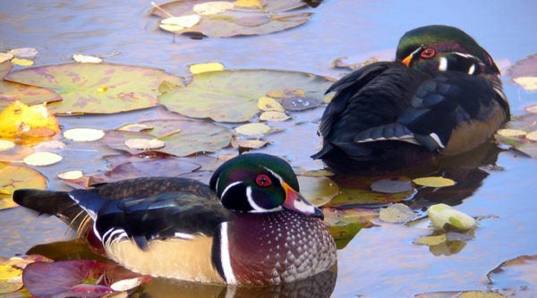 2004-10-13-Wood-ducks---frequent-visitors_Larry-Griffin