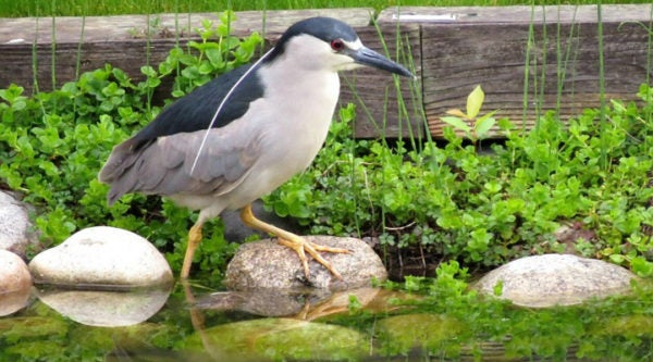 2015-5-21-Black-crowned-Night-Heron_Larry-Griffin