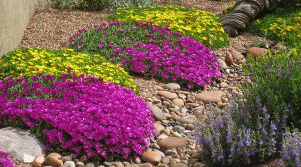 How To Grow and Care For Ice Plant (Delosperma) | High