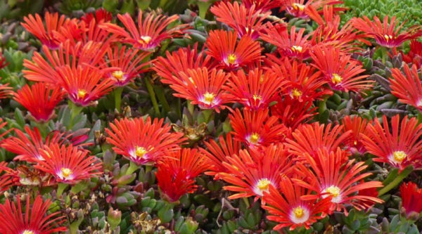 Delosperma_dyeri_Red_Mountain_Flame-HBLM921-web_