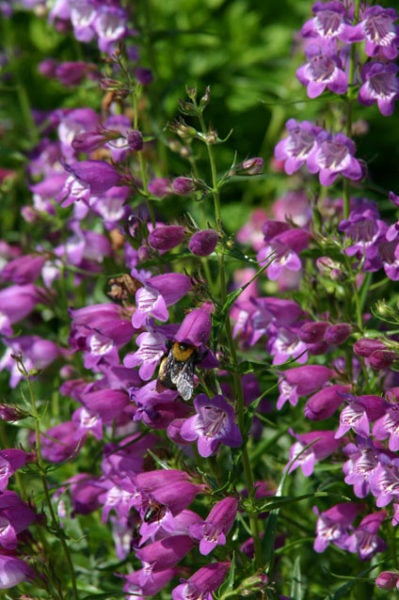 Purple penstemon pikes with bee.