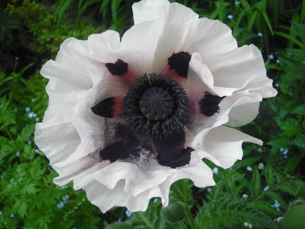 Oriental Poppy Royal Wedding_-_Sandra_Louise_Glaneuski_White