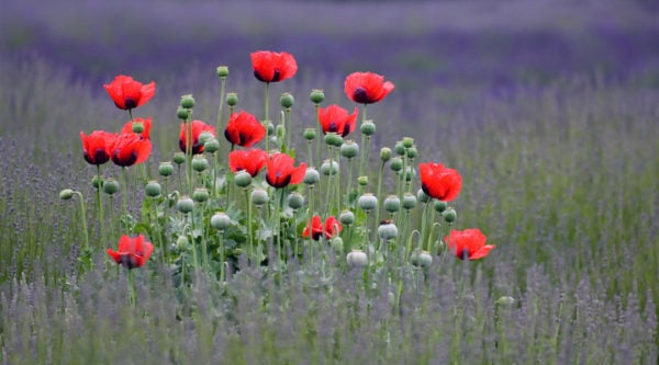 Fall Planting Oriental Poppies High Country Gardens