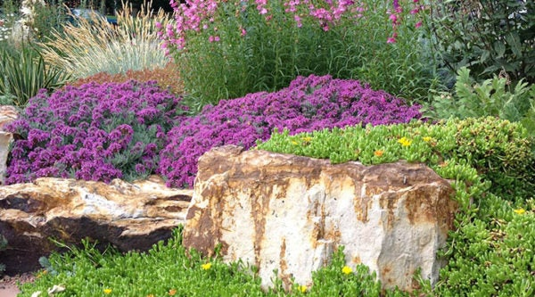 Creeping Gray Germander (Teucrium) with Hardy Yellow Ice Plant (Delosperma)