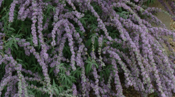 Tips on pruning flowering shrubs such as Buddleia alternafolia argentea