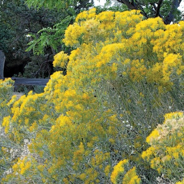 Tips to prune flowering shrubs such as Rabbit Brush.