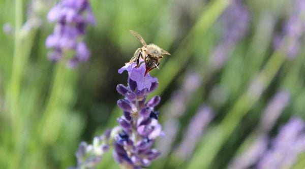 Honey bee with lavender.