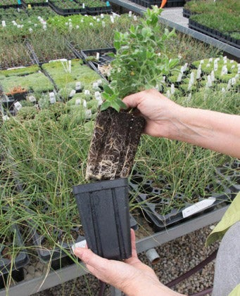 Fresh and hardy plants with strong root systems.
