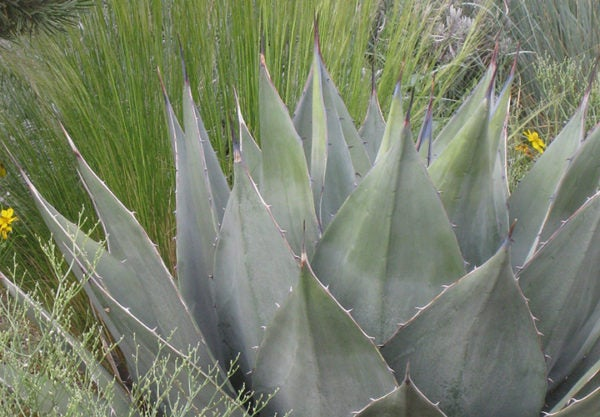 Agave haavardiana with nasella and helictotrichon.