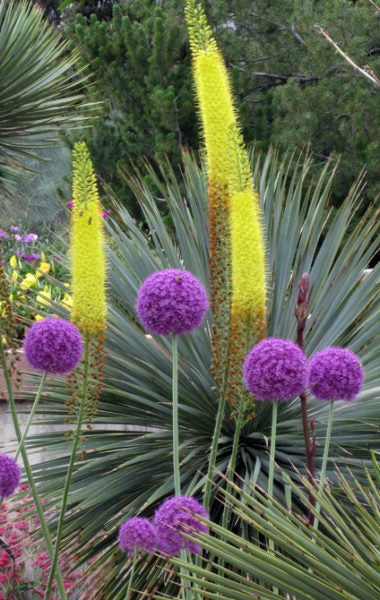 From the imagination of Dr. Seus--Allium, Yucca and Foxtail