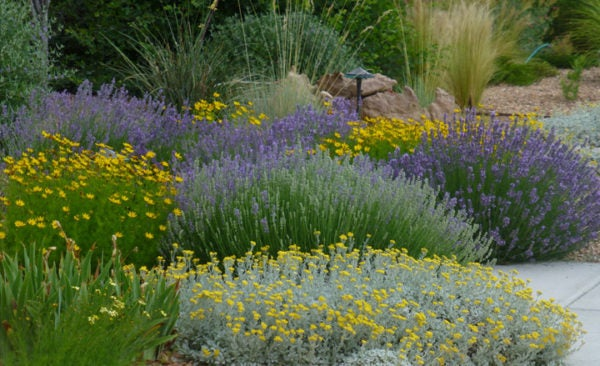 English Lavender (Lavandula), Coreopsis (Tickseed), Partridge Feather (Tanacetum) and Silky Thread Grass (Nasella)