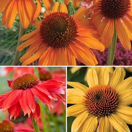 Everblooming Echinacea Collection