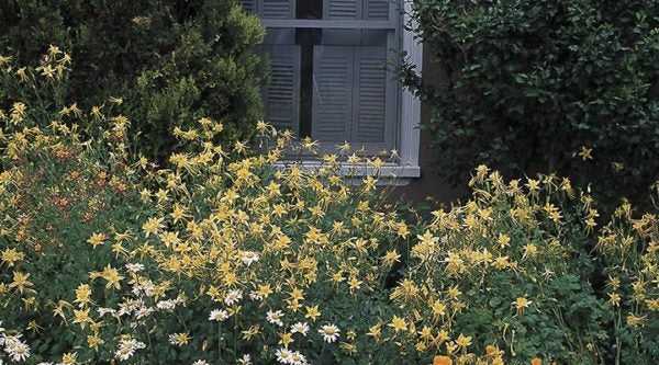 Aquilegia chrysantha will do well planted along a north-facing wall.