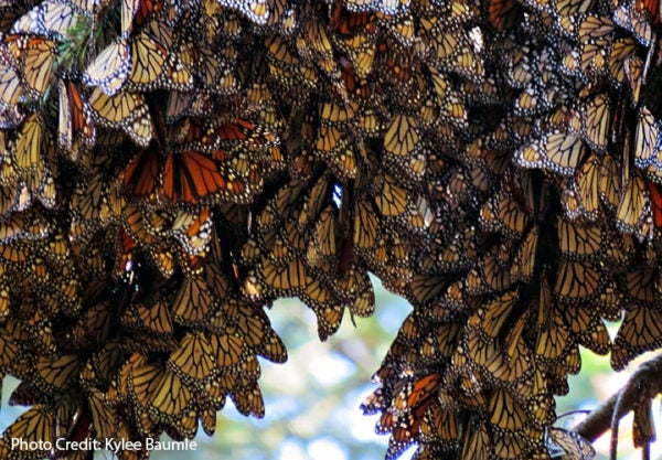 Monarchs clustering together.
