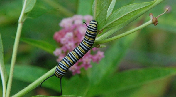 Monarch caterpillar on a Milkweed (Asclepias) plant