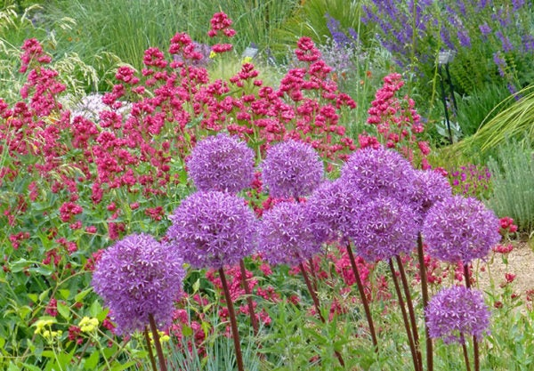 Allium Purple Sensation Centranthus Ruber Coccineus