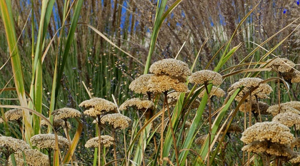 Gold Plate Yarrow (Achillea) with Muhly Grass (Muhlebergia) in fall.