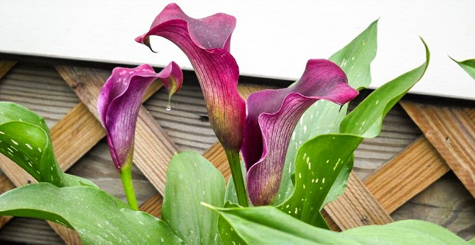 How to Grow Calla Lilies Anneke