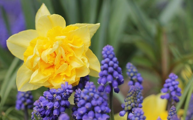 Daffodil narcissus and grape hyacinth.