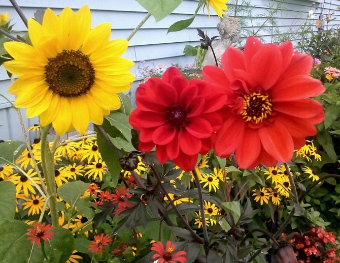 How To Growing Dahlias with Sunflowers results in a cheery look.
