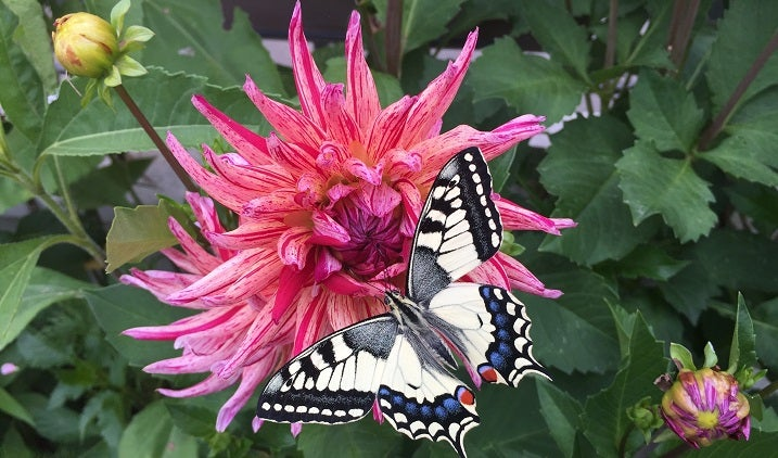 Cactus Dahlia with Butterfly